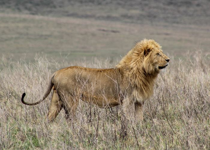 Male lion on the hunt in Ngorongoro Crater