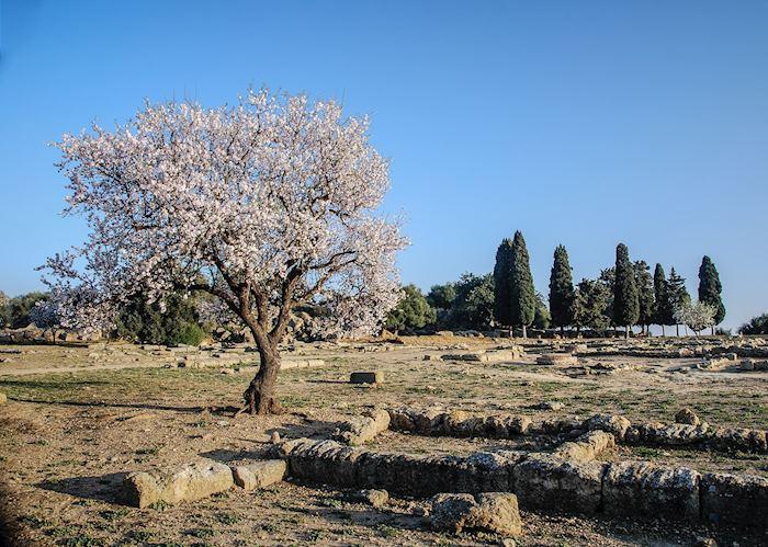 Almond tree, Agrigento