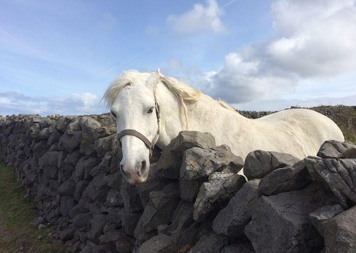 Aran white horse