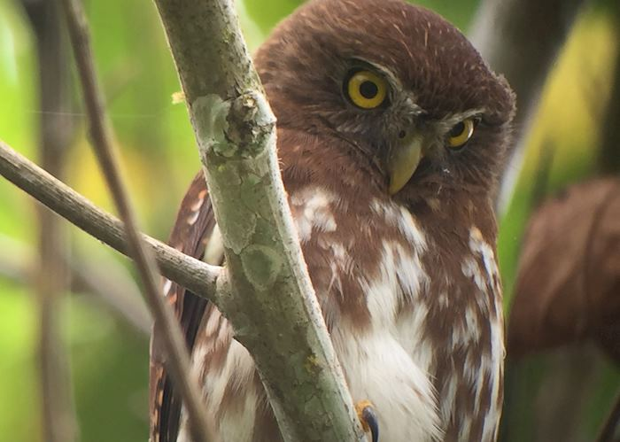 Subtropical pigmy owl seen on an excursion at Minga Lodge