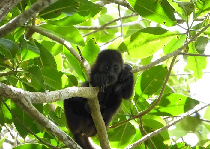 Howler Monkey, Cuero y Salado Wildlife Refuge
