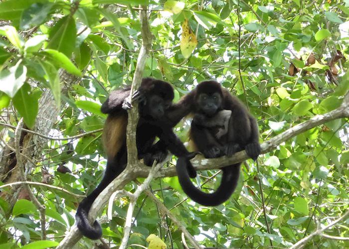 Howler Monkeys, Cuero y Salado Wildlife Refuge