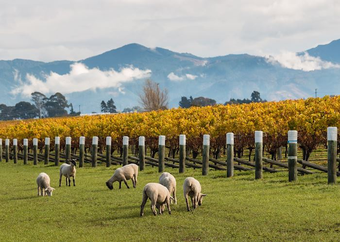 Sheep grazing a vineyard in Blenheim