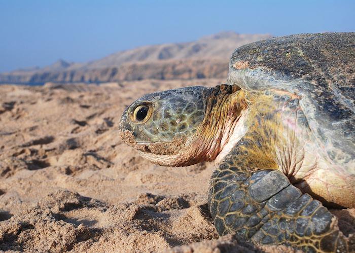 Turtle, Ras Al Jinz