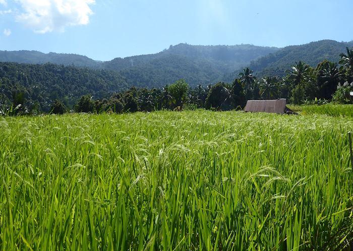 Rice fields around Munduk