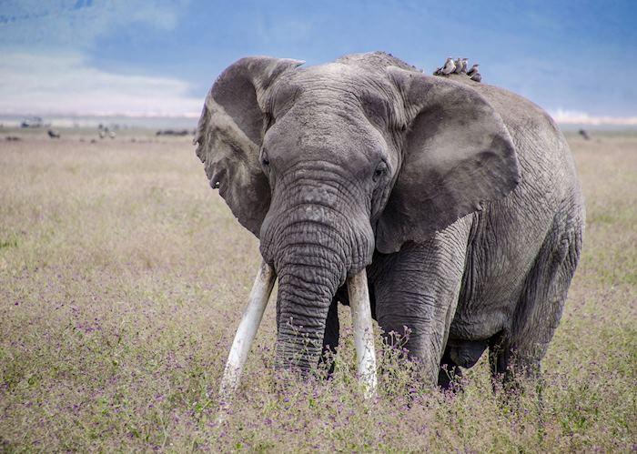 Elephant bull in the Ngorongoro Crater