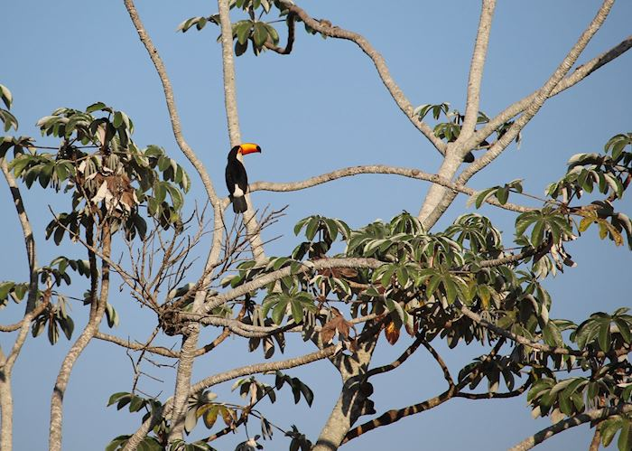 Wild Toucan at Refugio Caiman