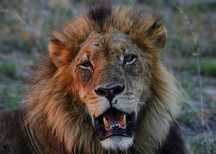 A black-maned lion in the Kwara concession