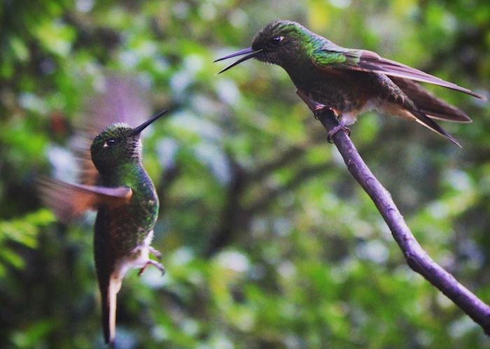 Cocora Valley hummingbirds