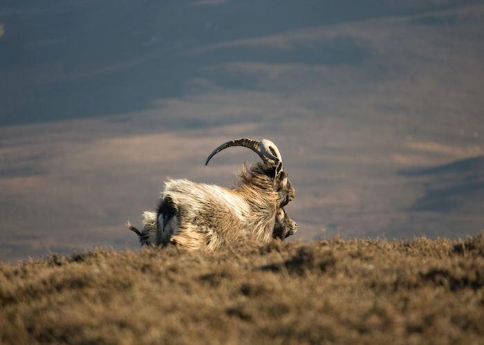 Wild goat, Islay