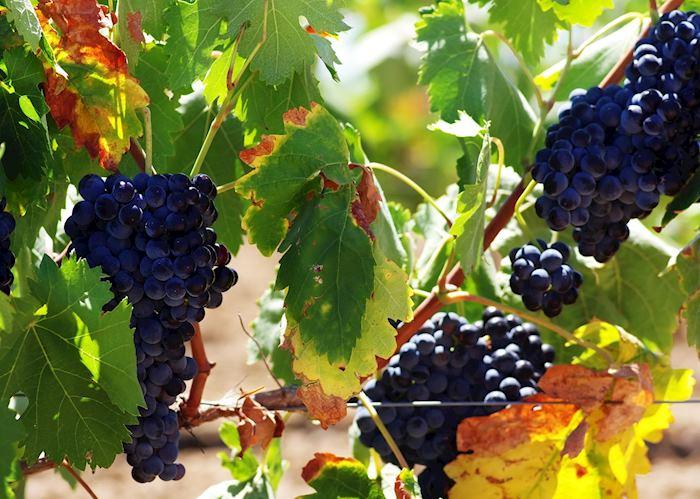 Grape vines, Alentejo