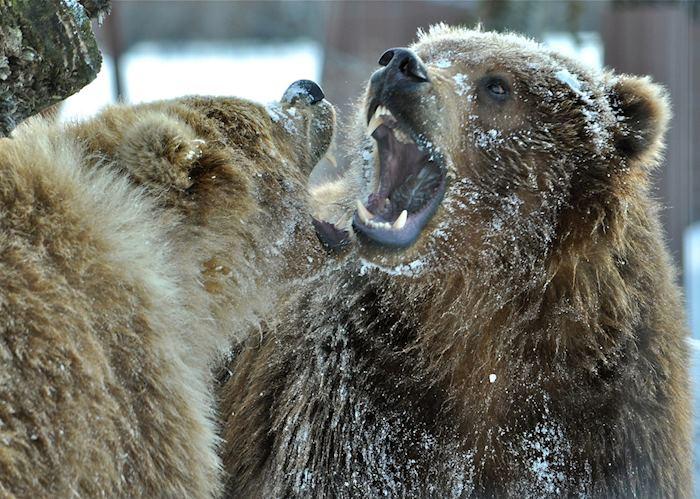 Bears in Denali National Park