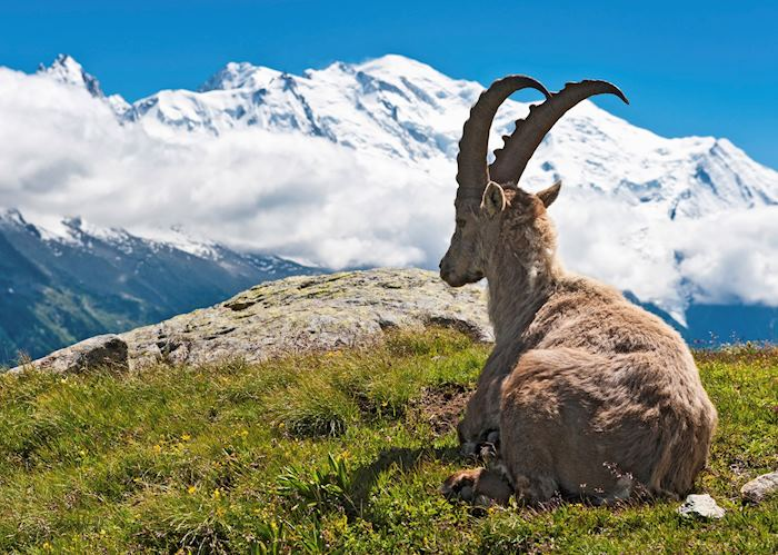 Mountain goat relaxing, Chamonix