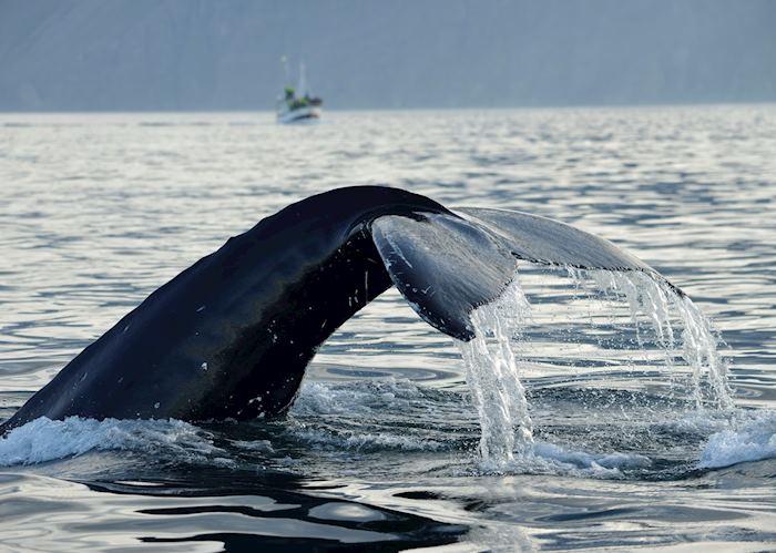 Humpback whale