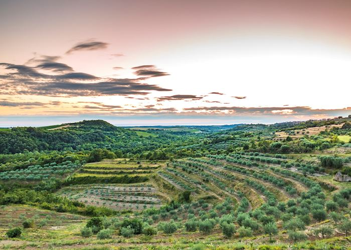 Istrian vineyards