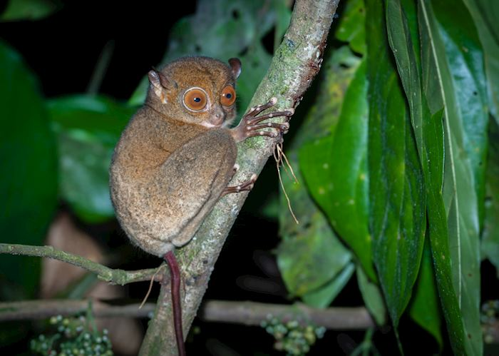 Tarsier in the Danum Valley