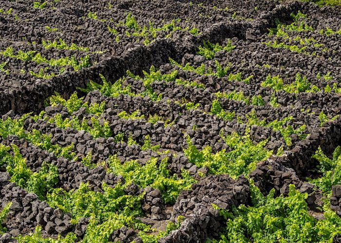 Vineyards, Pico
