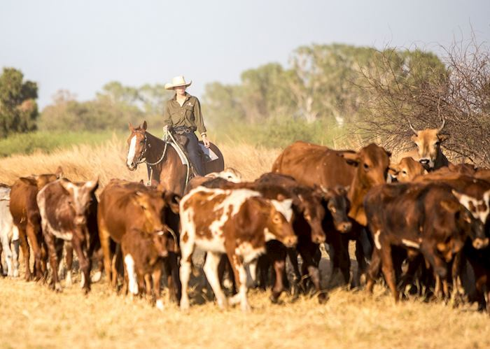 Cattle mustering, Bullo River Station
