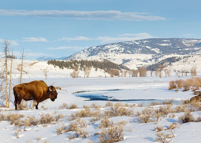 Bison in Yellowstone in the winter