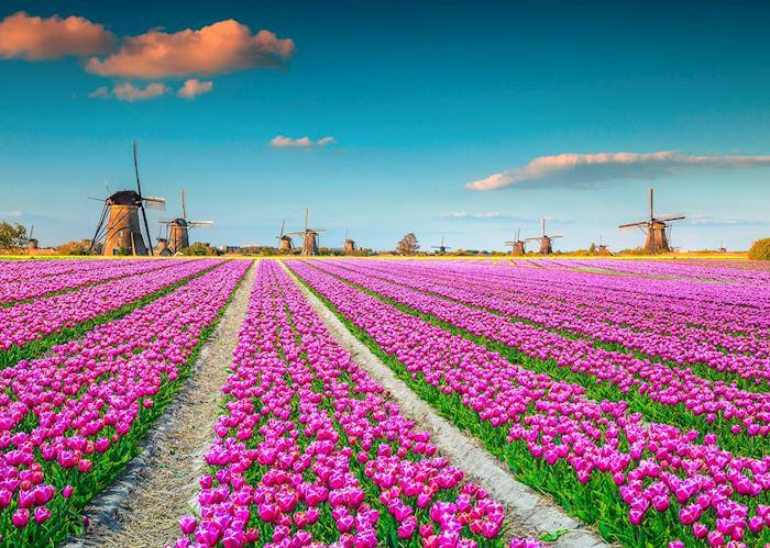 Tulip fields of Kinderdijk, Netherlands