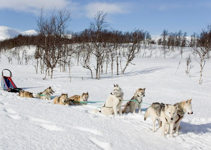 Huskies and their sled