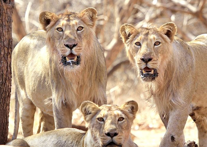 Lions in Sasan Gir National Park