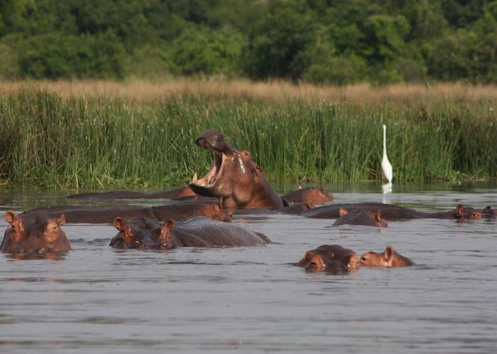 Hippos in Murchison Falls National Park
