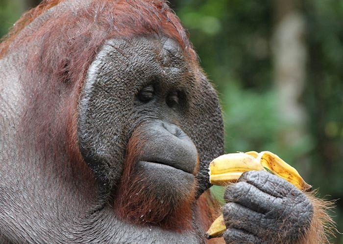 Male orangutan, Tanjung Puting National Park