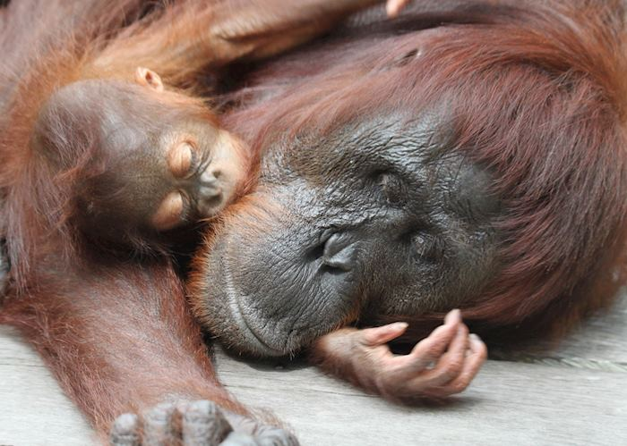 Orangutan and baby, Tanung Puting National park