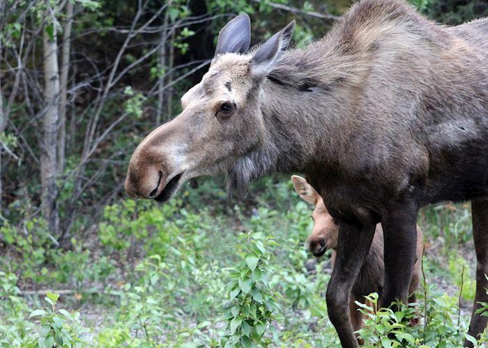 Moose and Calf, Denali National Park, Alaska