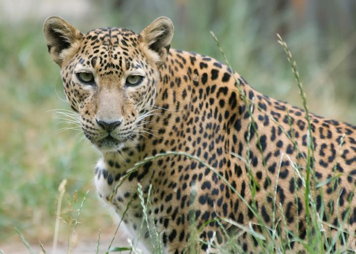 A young leopard, Yala