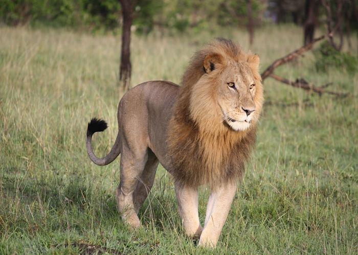Lion, Masai Mara, Kenya
