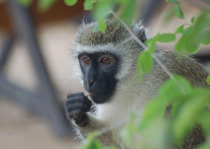Vervet monkey, Diani Beach, Kenya