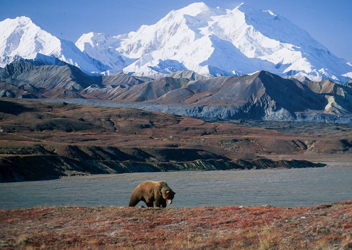 Grizzly bear at Mount Denali, Alaska