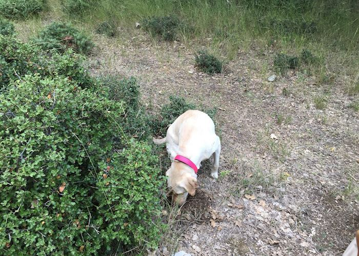 Dorita searching for truffles, Central Greece