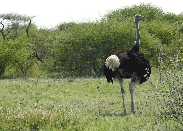 Ostrich, Nxai Pan National Park