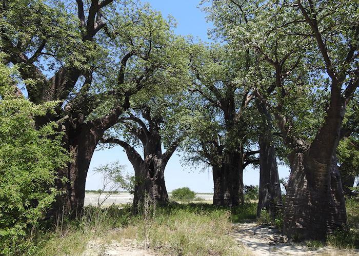 Baines Baobabs, Nxai Pan National Park