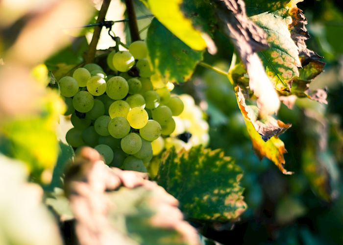 Grapes on the vine, Santorini