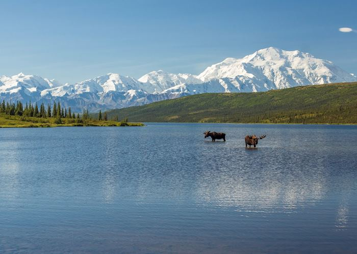 Moose in Denali National Park, Alaska