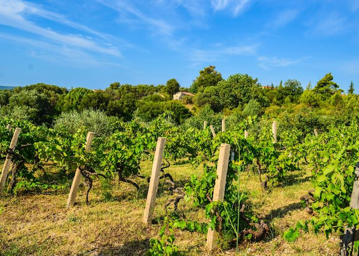 Plavac mali vineyards, Peljesac Peninsula