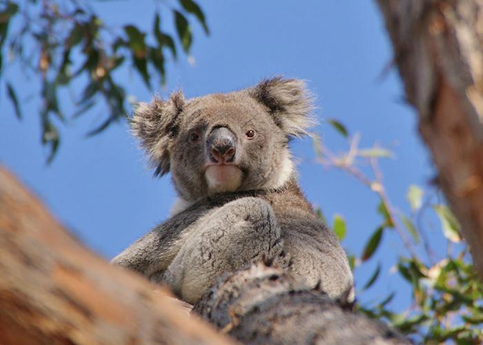 Wild koala on Kangaroo Island