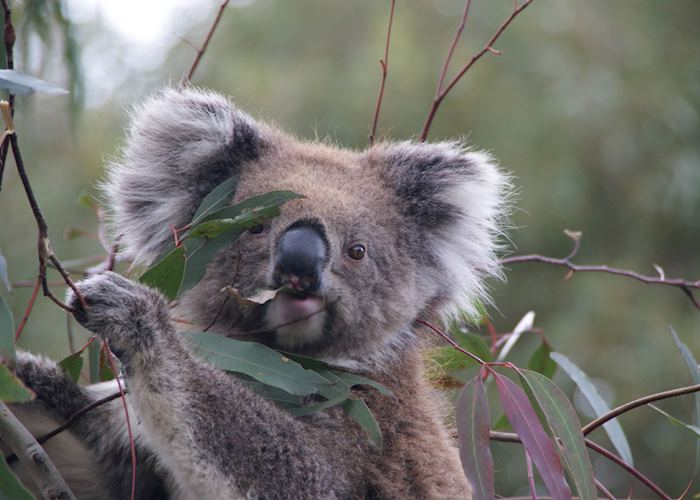 Wild koala enjoying her lunch on Kangaroo Island