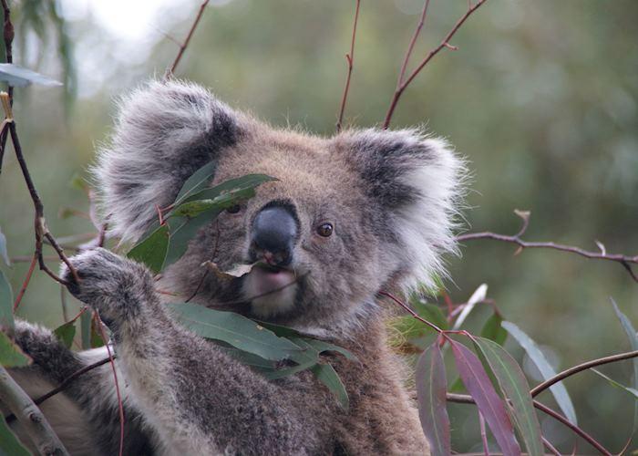Wild koala enjoying her lunch on Kangaroo Island