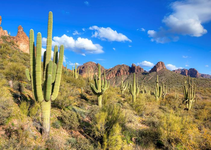 Saguaro cacti near Tucson, Arizona