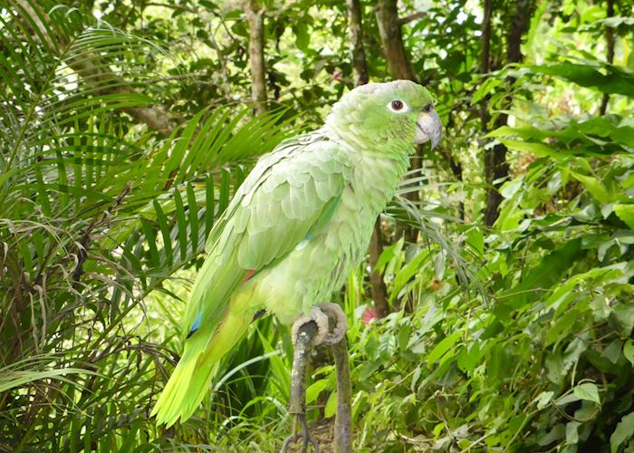 Minga Lodge's relatively tame parrot