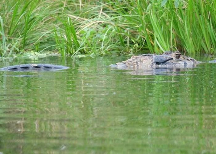 Caiman, Napo Wildlife Centre