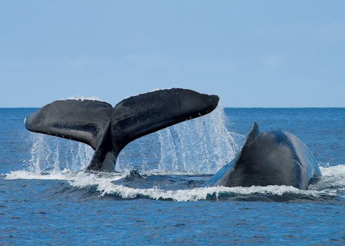 Whales, Hawaii