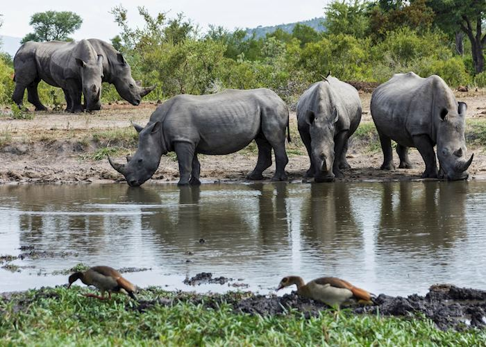 Rhinos, Kruger, South Africa