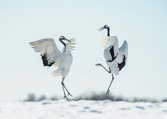 Japanese red crown crane courtship dance, Japan