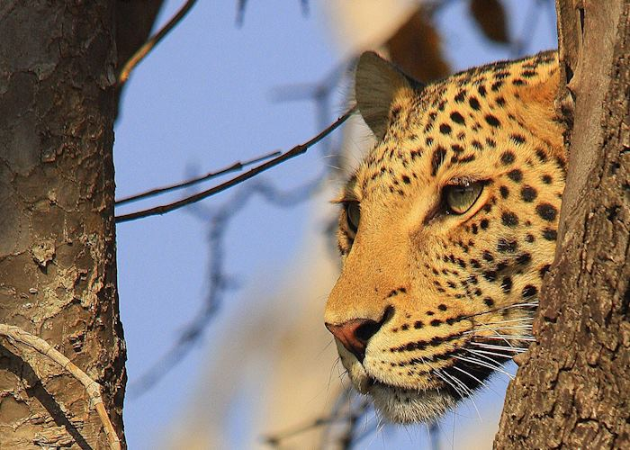 Leopard, Chobe National Park